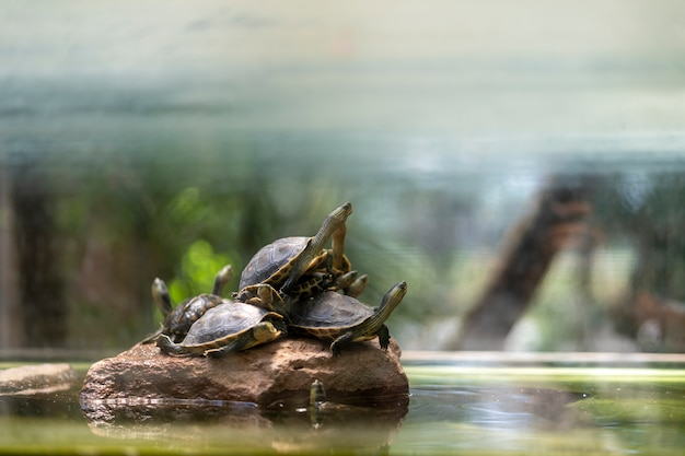 Many turtles come to rest on the rocks. Premium Photo