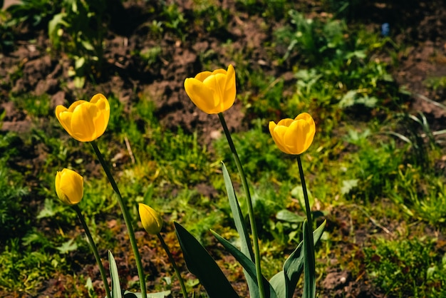 Many yellow tulips grow in ground on background of green grass with copyspace. group of beautiful romantic flowers close up on backdrop of greenery. Premium Photo