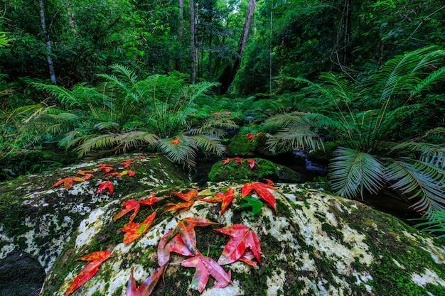 Клен и зеленый папоротник в потоке в тропическом лесу. Premium Фотографии