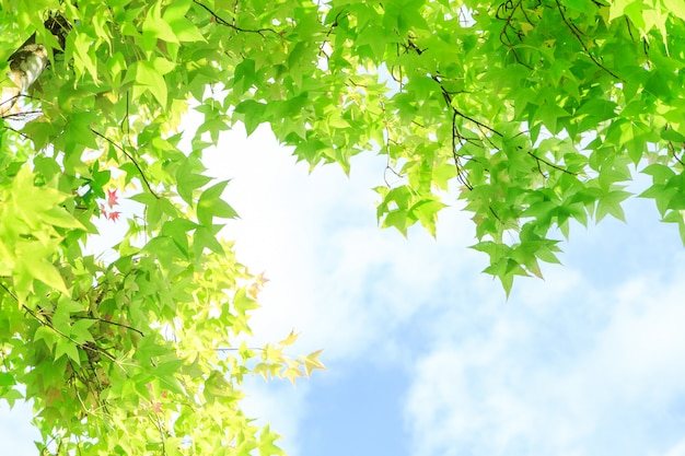 Maple leaves for background Premium Photo