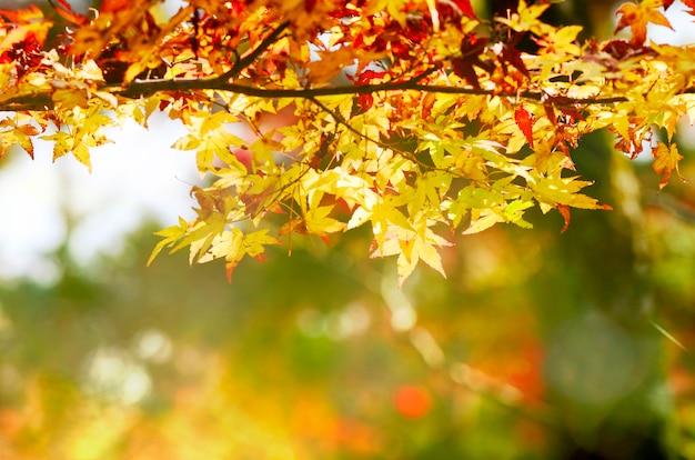Maple tree garden in autumn. red maple leaves in autumn. Premium Photo