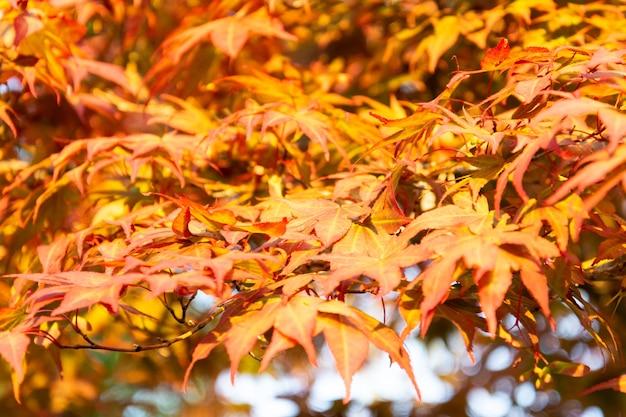 Клен с желтыми листьями осенью Premium Фотографии
