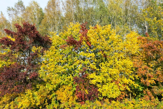 Maple trees change color with yellow leaves in autumn season Premium Photo