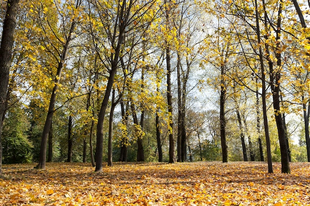 가을 시즌에 화려한 단풍 공원에서 성장하는 단풍 나무. 화창한 날씨 동안 근접 촬영을 찍은 사진. 프리미엄 사진