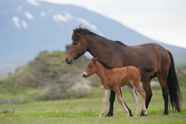 Mare and foal on a meadow Premium Photo