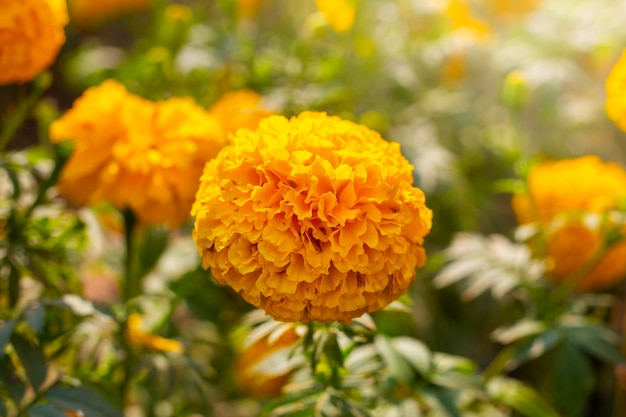 Marigold field, yellow flowers. natural background. Premium Photo