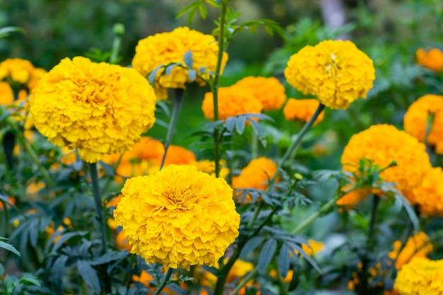 Marigold flower blossom in garden. head of yellow marigold plant, close up Premium Photo