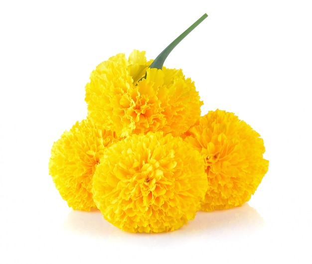 Marigold flower on white Premium Photo