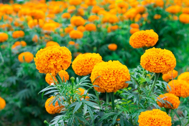 Marigold flower Premium Photo