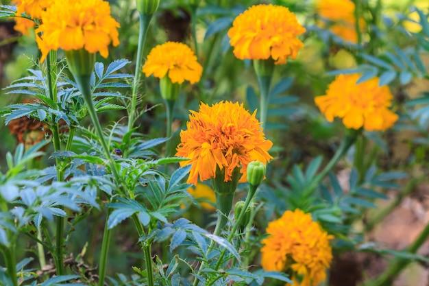 Marigold  flowers field Premium Photo
