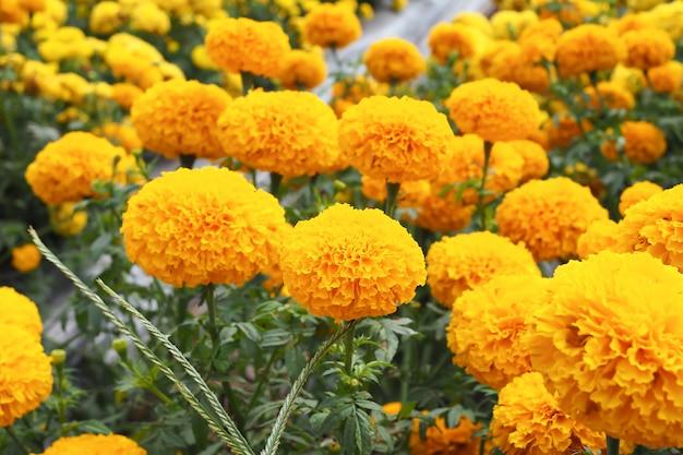 Marigold flowers in the meadow in flower garden Premium Photo