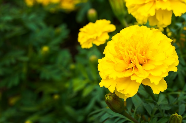 Marigold flowers in the meadow Premium Photo