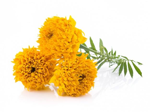 Marigold flowers on white background Premium Photo
