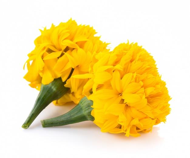 Premium Photo   Marigold flowers on white background