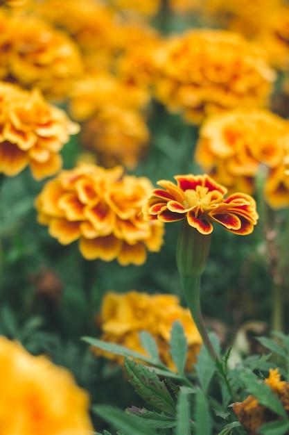Цвет календулы в саду Premium Фотографии