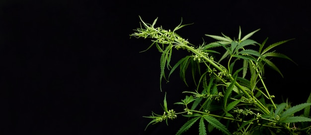 Marijuana bush with seeds on black. growing marijuana in the home , the ripened hemp Premium Photo