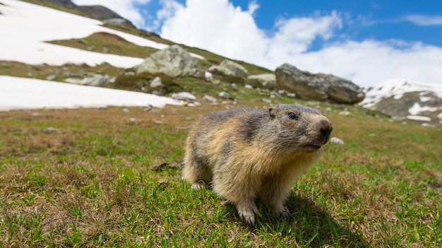 Marmot, looking at camera, front view. wildlife and nature reserve in the italian french alps. Premium Photo