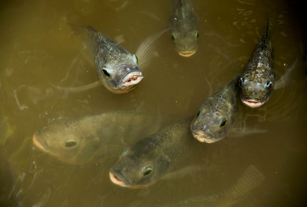 Masses Fish Nile Tilapia Nilotica Breathe Above Water Premium Photo