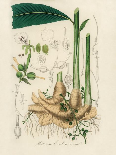 真のカルダモン(matania cardamomun)イラストレーション:medical botany(1836) 無料写真
