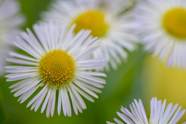 Matricaria in the afternoon. macro photography Premium Photo
