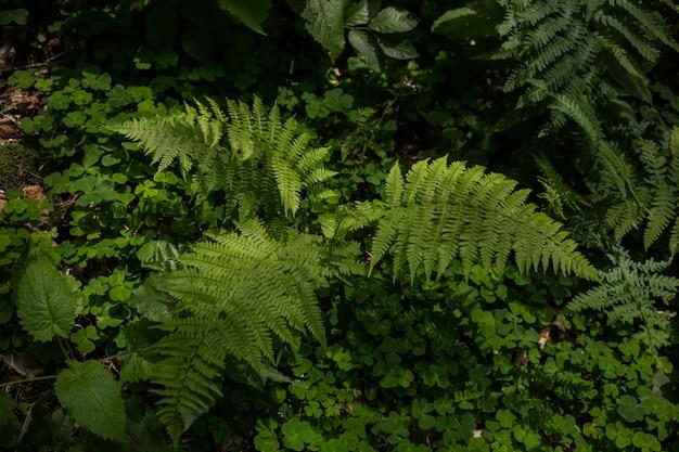 Matteuccia struthiopteris растет в лесу буша Premium Фотографии