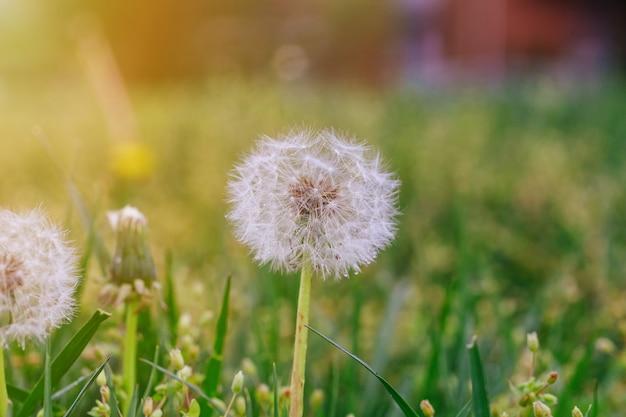 Mature dandelion. spring background. green grass. Premium Photo