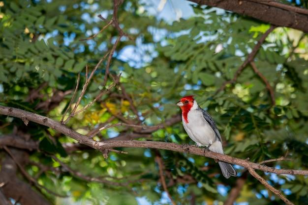 하와이 마우이. 붉은 볏 추기경, Paroaria Coronata는 나뭇 가지에 자리 잡고 있습니다. 프리미엄 사진