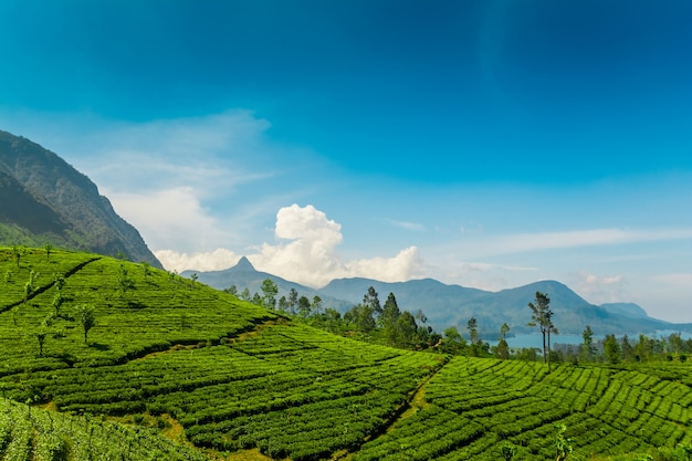 Чайные плантации в mawussakele на шри-ланке Premium Фотографии