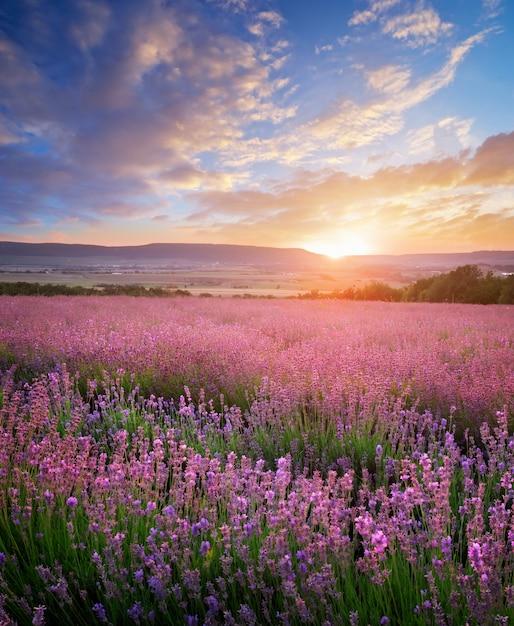 Meadow of lavender. Premium Photo