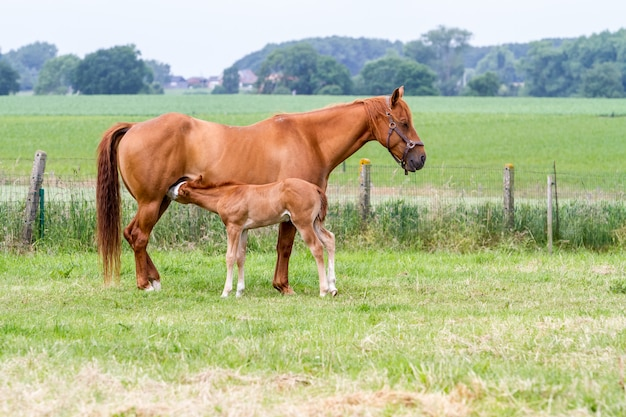 On the meadow there is a nice filly and stands beside her mother horse Premium Photo