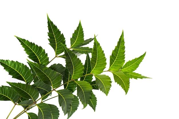 Medicinal neem leaf on white surface. azadirachta indica. Premium Photo