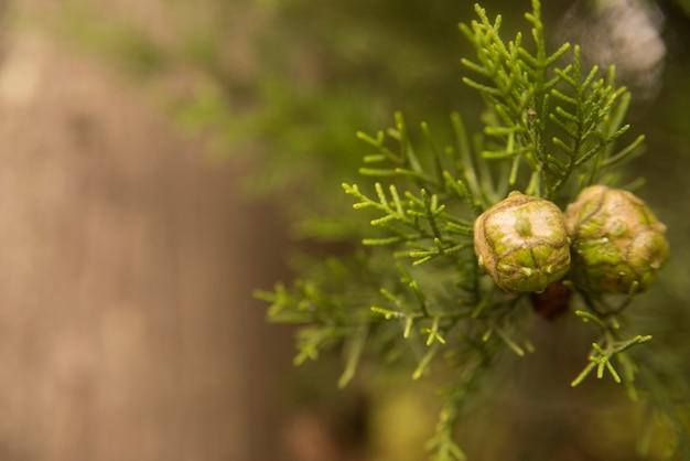 Mediterranean cypress - cupressus sempervirens cones on branch Free Photo