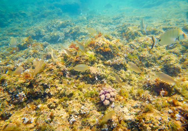 Mediterranean underwater fishes in reef Premium Photo