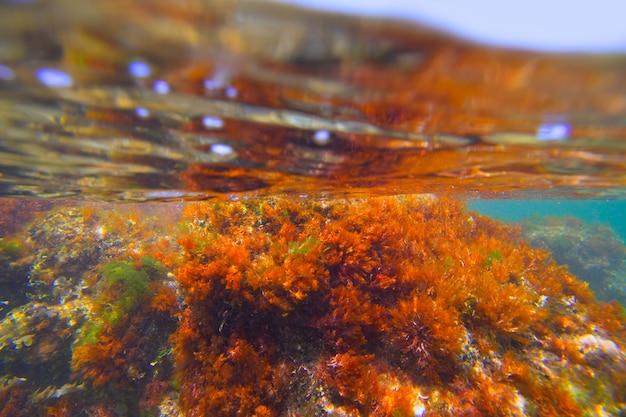 Mediterranean underwater seaweed algae in denia javea Premium Photo