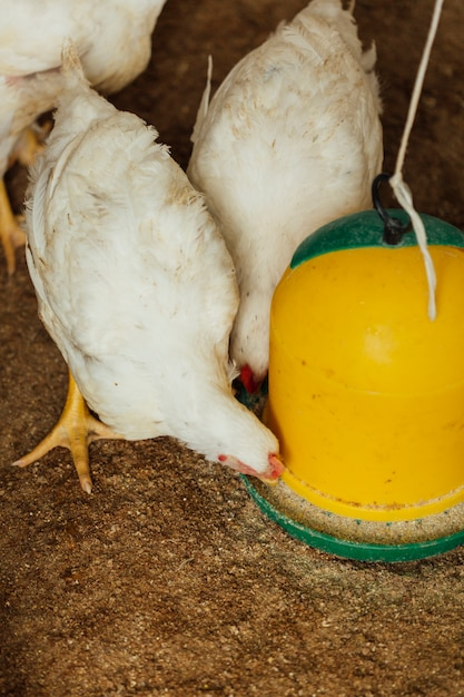 Medium shot chicken eating in pen Free Photo