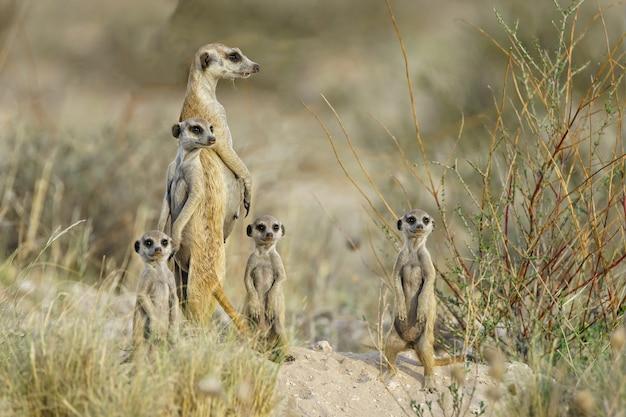 Famiglia meercat alla ricerca Foto Gratuite