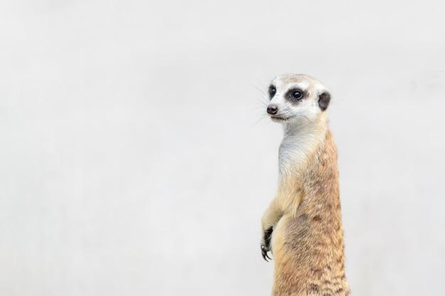Meerkat suricata suricatta、アフリカ原産の動物、 Premium写真