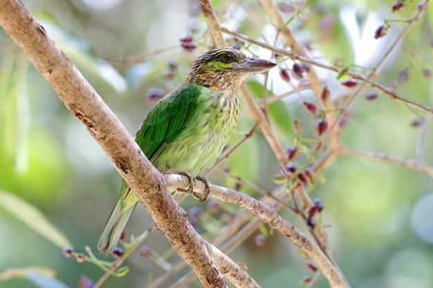 緑耳バーベットmegalaima faiostrictaタイの美しい鳥 Premium写真