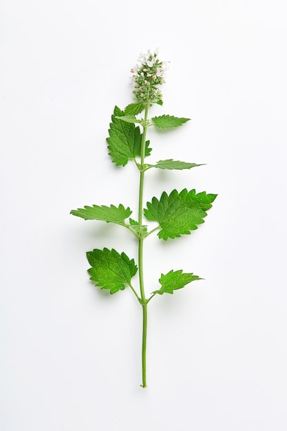 Melissa leaf or lemon balm isolated. branch of lemon balm with inflorescence isolated. top view Premium Photo