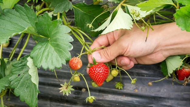 Men pick a red strawberry fruit. Premium Photo