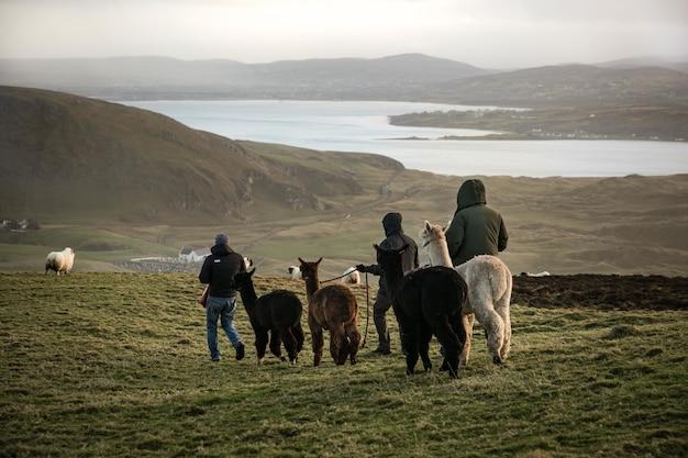 Uomini che camminano lama sul campo con un lago e montagne Foto Gratuite