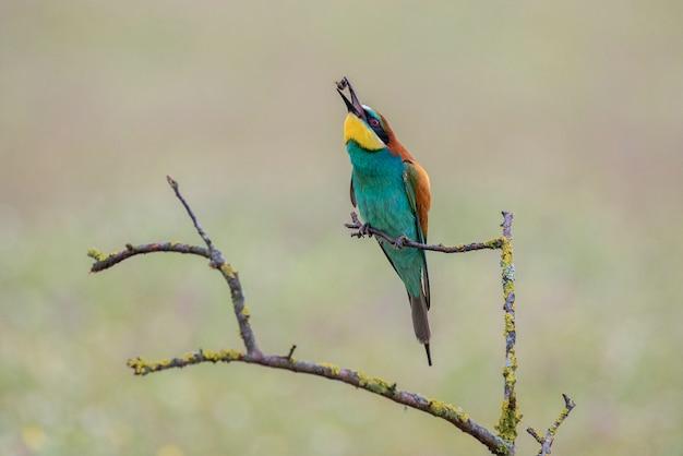 Merops apiasterハチクイ Premium写真