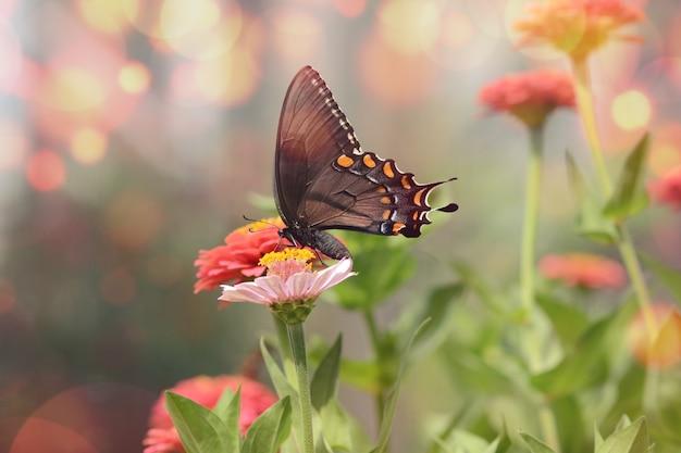 핑크 꽃에 작은 검은 Satyrium 나비의 매혹적인 매크로 사진 무료 사진