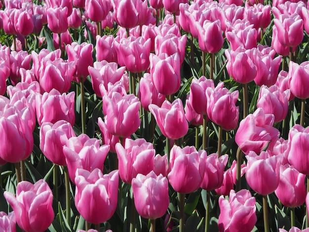 Ipnotizzanti tulipa sprengeri piante fiorite in mezzo al campo Foto Gratuite