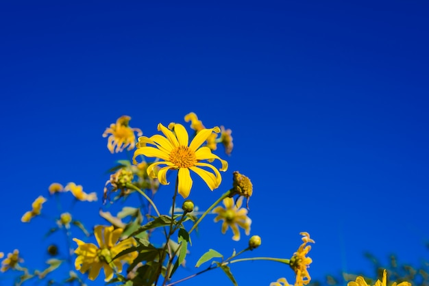 Mexican sunflower with blue sky background. Premium Photo