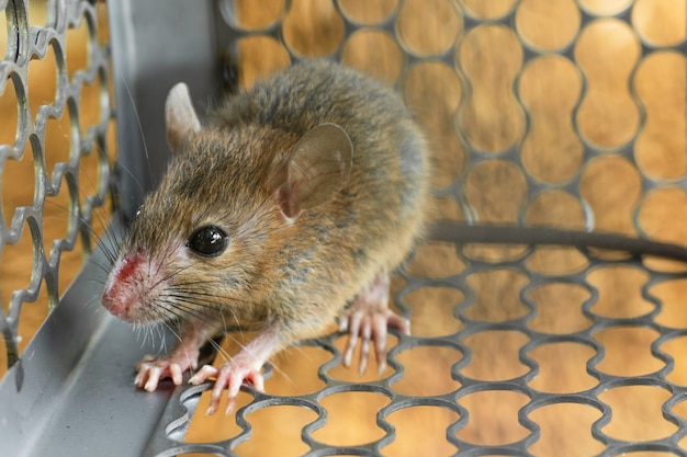Mice trapped in a trap cage. inside of rat traps. Premium Photo