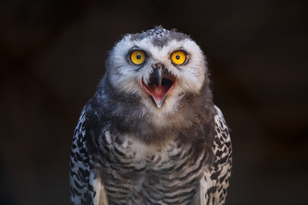 Micrathene whitneyi, the owl owl or dwarf owl with his mouth open while screaming. Premium Photo