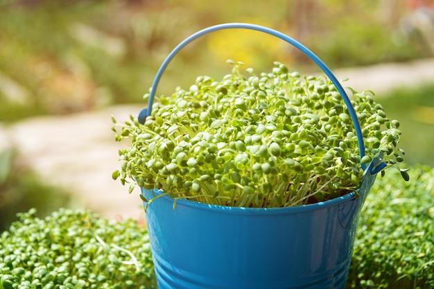 Микро зелень. крупный план расти пусканная ростии руккола. Бесплатные Фотографии