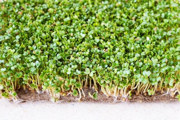 Микро зелень. проросшие семена горчицы на столе. вид сверху. Бесплатные Фотографии