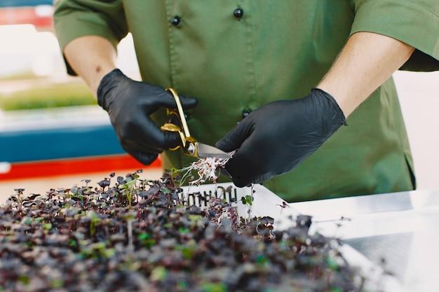 Microgreen corindone coriandolo germogli in mani maschili. germogli crudi, microgreens, concetto di mangiare sano. l'uomo taglia con le forbici. Foto Gratuite